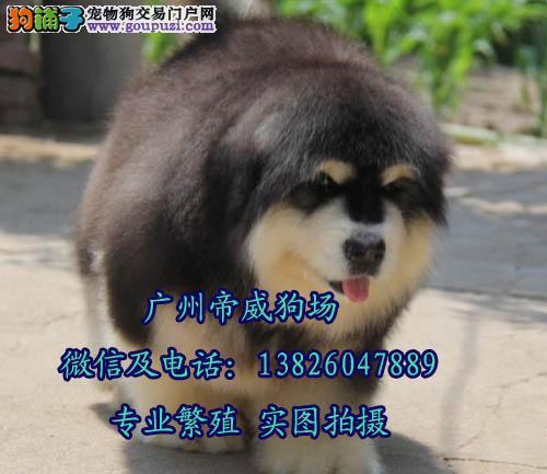 广州在哪里有狗卖 广州哪里买阿拉斯加比较好