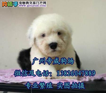 广州在哪里有狗场 广州买古代牧羊犬去哪里比较好