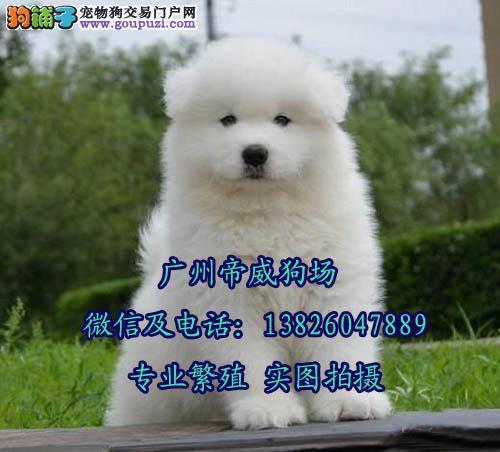 广州哪里有卖萨摩耶幼犬 广州荔湾区哪家狗场正规