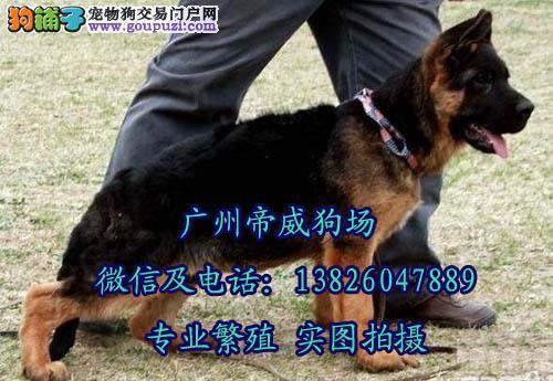 看家护院首选德牧 广州哪里有卖德国牧羊犬 正规犬舍