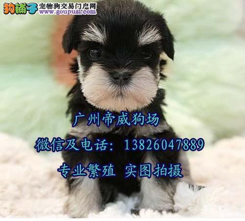广州卖狗口碑好的犬舍 广州哪里有卖雪纳瑞幼犬