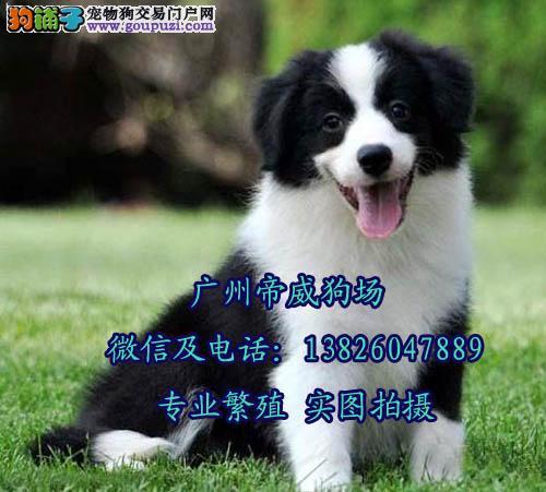广州卖狗网站 宠物市场 广州哪里有卖边境牧羊犬