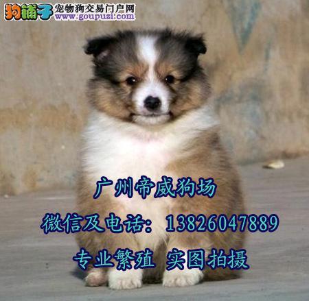 广州番禺区哪里有卖狗的 广州哪里卖苏格兰牧羊犬