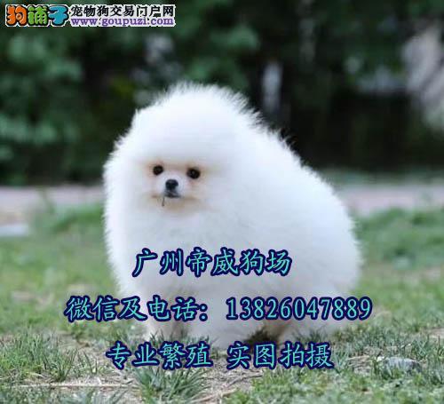广州比较正规的犬舍 广州哪个地方有卖纯种博美犬