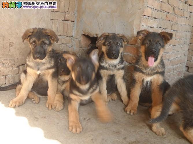 云南本地狼狗幼犬出售 云南狗场的狼犬小狗 送货.发货
