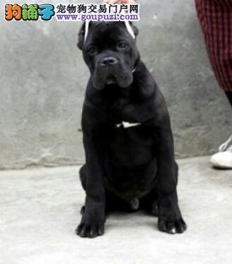 冠军级后代卡斯罗犬,真实照片保纯保质,签订活体协议