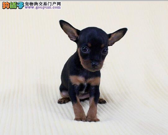 广州哪里有繁殖纯种小鹿犬 铁包金小鹿犬多少钱