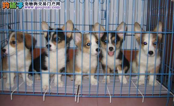 红河哪里有大型狗场 红河宠物网买狗网