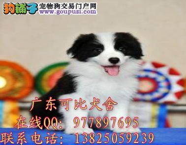 深圳哪里有卖边境牧羊犬 出售智商第一聪明边境牧羊犬