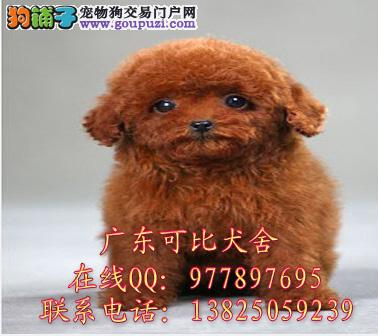 深圳哪里有卖纯种泰迪熊 红色咖啡色灰色泰迪熊