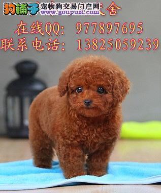 深圳哪里有卖纯种贵宾犬 出售红色灰色棕色贵宾犬