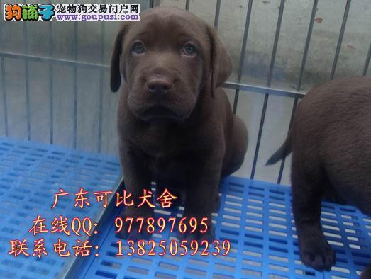深圳哪里有卖拉布拉多狗 出售导盲犬寻回犬拉布拉多