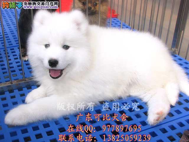 深圳哪里买萨摩耶好 出售澳版微笑天使萨摩耶幼犬