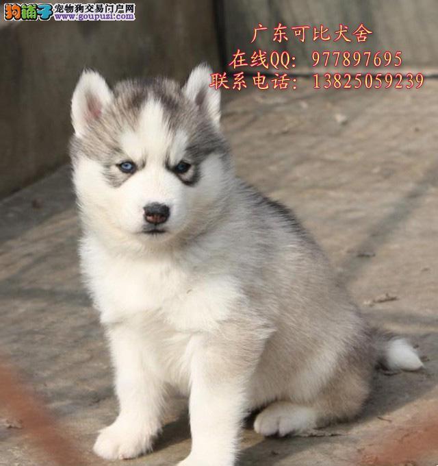 深圳哪里买哈士奇好 深圳哪里有卖纯种哈士奇幼犬