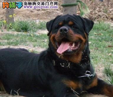 深圳哪里有卖罗威纳小狗出售德系纯种罗威纳防暴犬