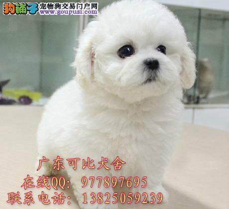 深圳哪里有卖比熊犬 出售法国卷毛纯种比熊狗