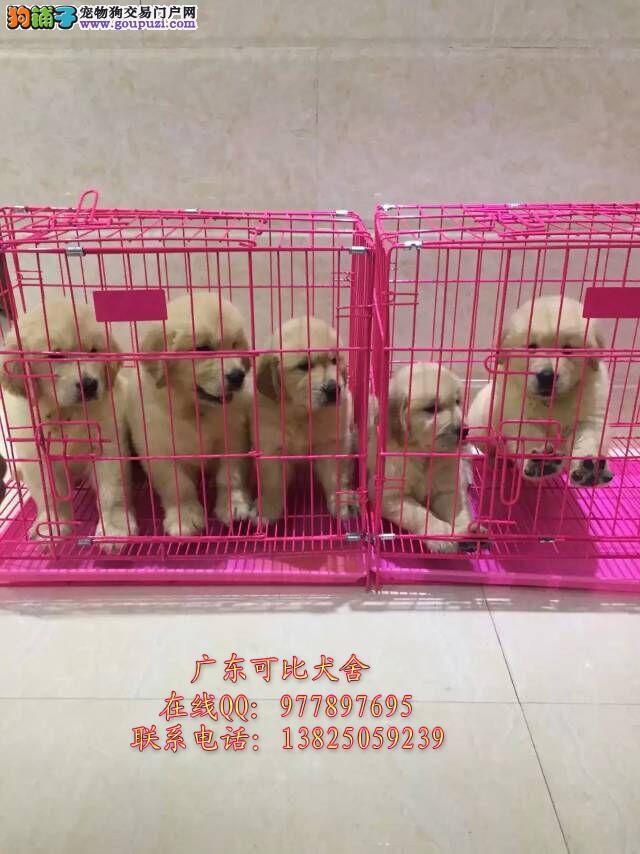 深圳哪里买金毛好 出售纯种导盲犬寻回犬金毛小狗