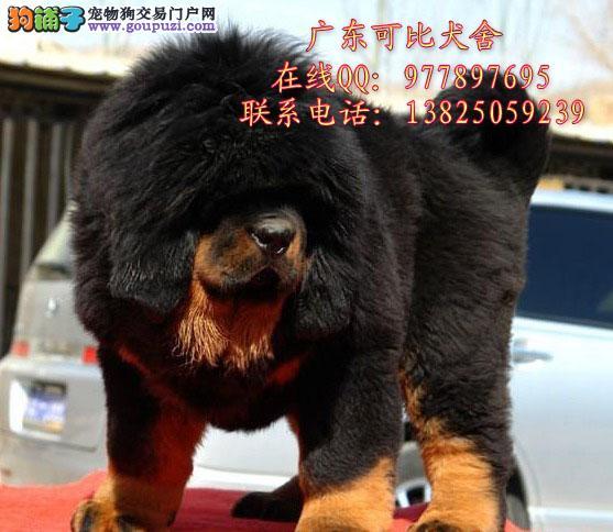 深圳哪里有卖纯种藏獒幼犬 出售狮子头虎头藏獒小狗