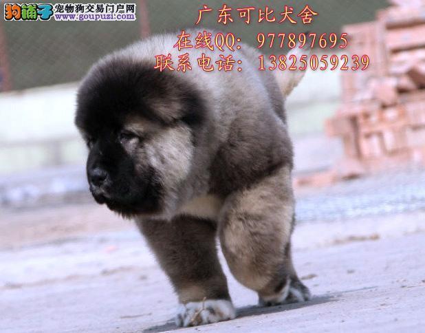 深圳哪里买高加索最好 出售俄罗斯纯种高加索小狗