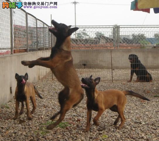 深圳哪里有卖马犬 出售纯种马犬疫苗做好马犬