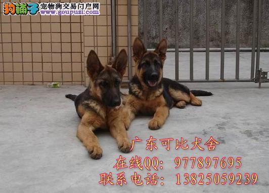 深圳哪里有卖德国牧羊犬出售黑背弓背纯种德牧小狗