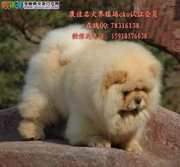 中山哪里有卖纯种松狮狗 出售肉嘴面包嘴松狮小狗
