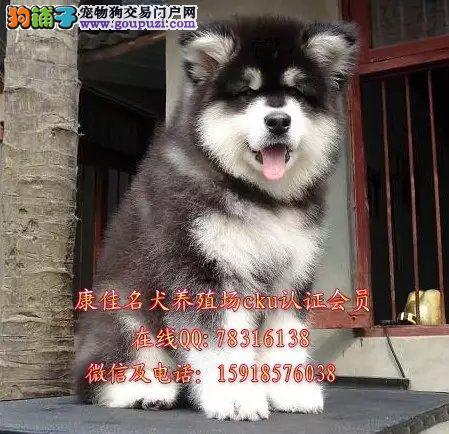 中山哪里有卖纯种阿拉斯加 十字脸桃脸阿拉斯加小狗