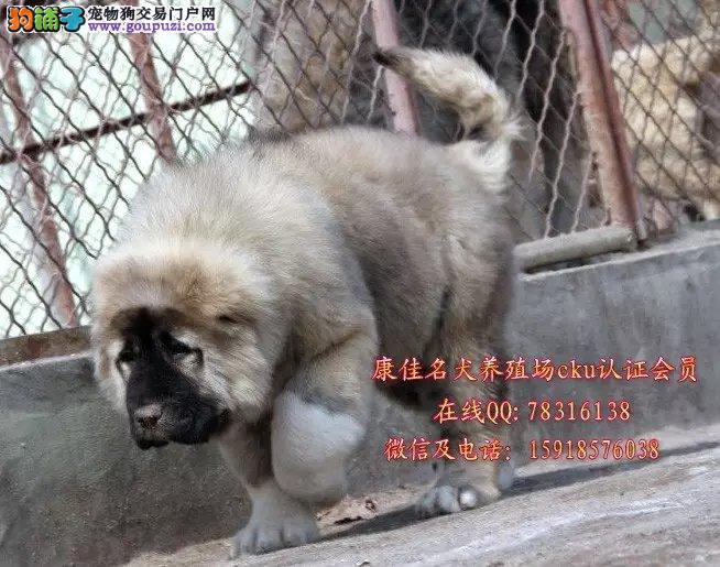 中山哪里有卖纯种高加索狗 出售俄罗斯护卫犬高加索狗