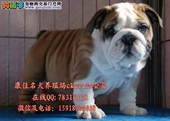 中山哪里有卖斗牛犬 出售纯种英国斗牛犬法国斗牛犬