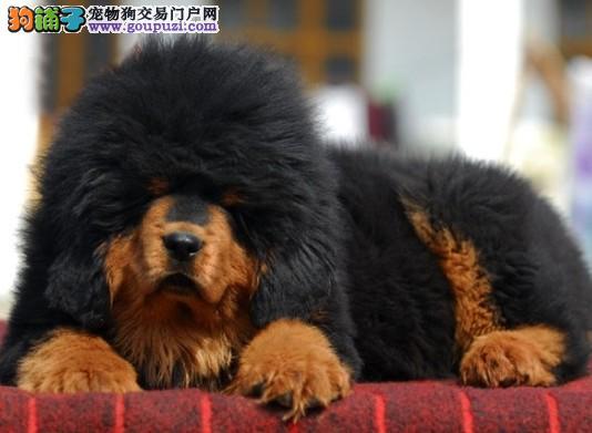 中山哪里有卖纯种藏獒小狗 出售虎头狮子头藏獒犬