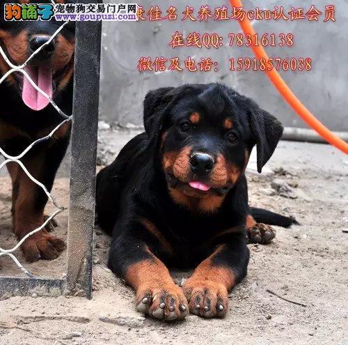 中山哪里有卖纯种罗威纳狗 出售德系大头罗威纳防暴犬