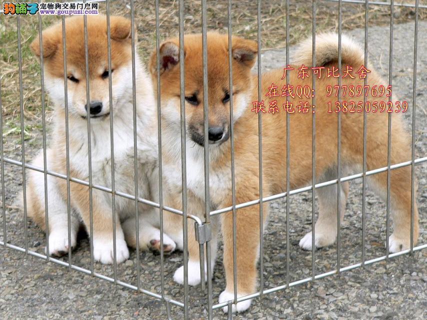 中山哪里有卖柴犬 纯种日本柴犬 纯种柴犬幼犬