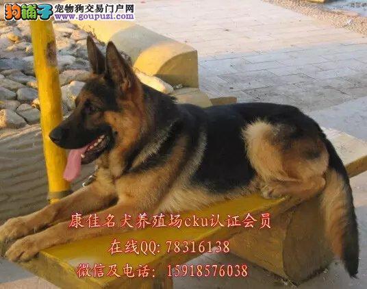 中山哪里有卖德国牧羊犬出售黑背弓背纯种德牧幼犬