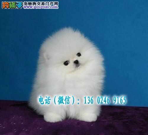 深圳哪里有卖俊介博美犬 哈多利博美一只多少钱