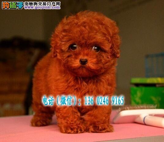广州哪里有卖泰迪熊小灰贵宾多少钱