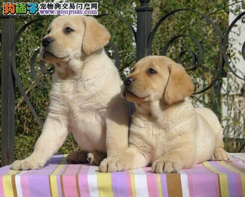 安顺买狗的地方 安顺买拉布拉多请到狗场
