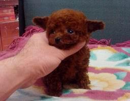 大连正中韩国血统精品茶杯体 玩具体泰迪熊幼犬