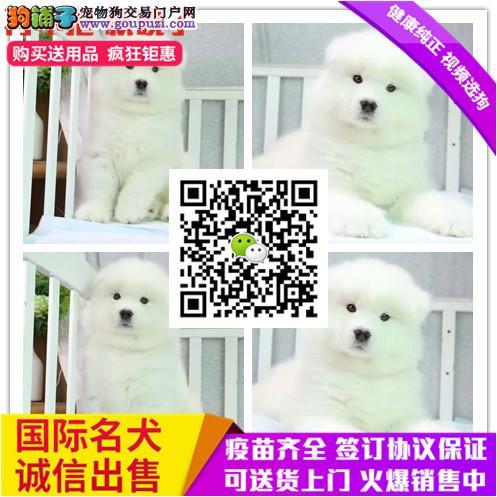 出售纯种萨摩幼犬 赛级品质 健康质保 免费送货上门