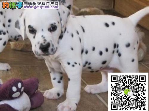 韩国引进大眼睛甜美脸型斑点幼犬保纯种健康质保终身