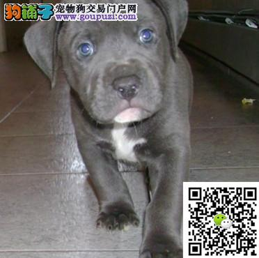 上海犬舍直销比特货到付款面对面视频看狗