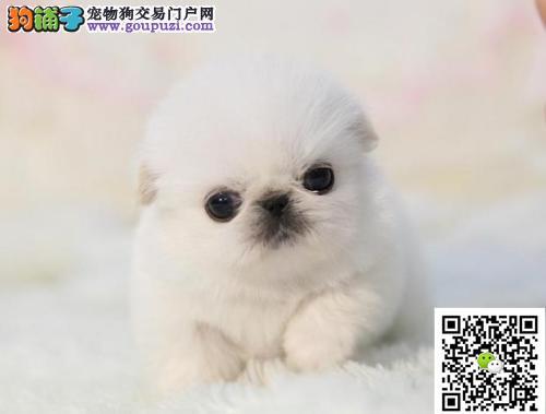 本地养殖场出售精品宠物狗京巴犬,喜欢的联系
