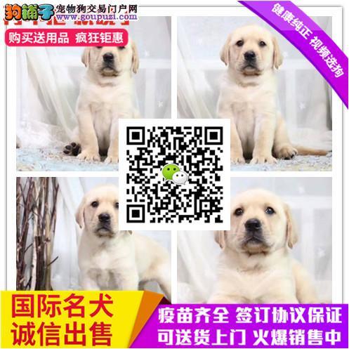 专业繁殖高品质 赛级拉布拉多幼犬 纯种血系协议质保