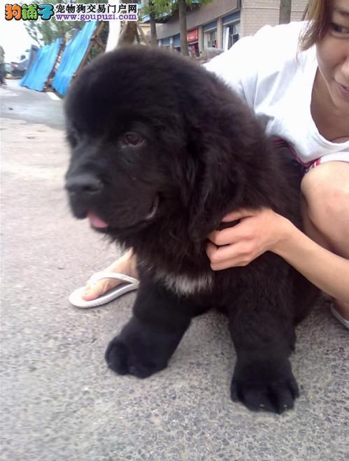 东莞哪里有卖纽芬兰犬 广州纽芬兰犬价格