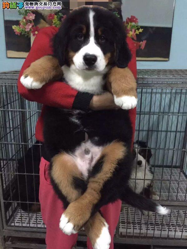 温顺 伯恩山犬 实物拍摄 疫苗齐
