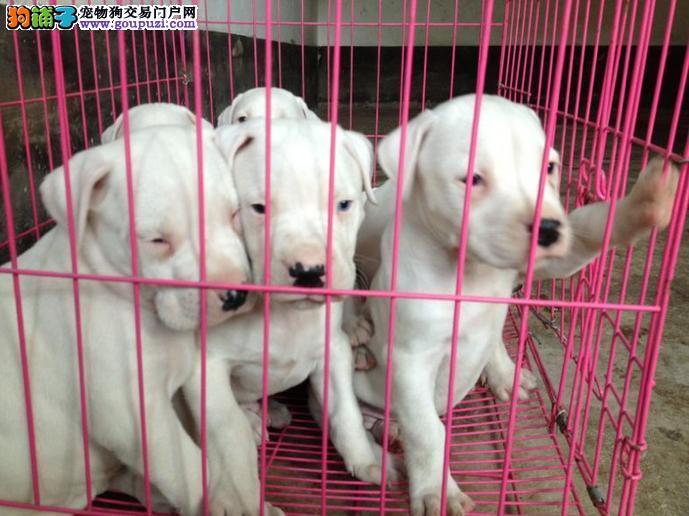 深圳哪里买健康好杜高幼犬尽在这里 签订协议品质健康