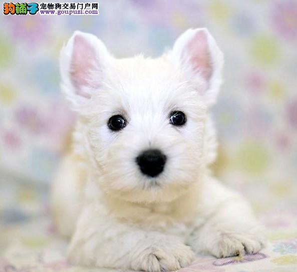 深圳哪里买纯种西高地幼犬出售,健康签协议,售后包美容
