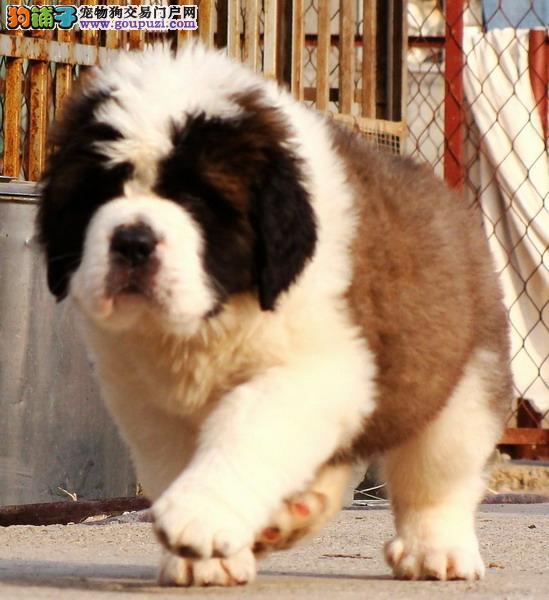 深圳高品质的圣伯纳幼犬出售了 疫苗做完 质量三包