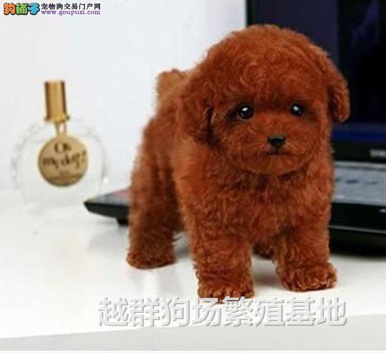 广东大型养狗场 赛级韩系小体 玩具贵宾幼犬 血统纯正