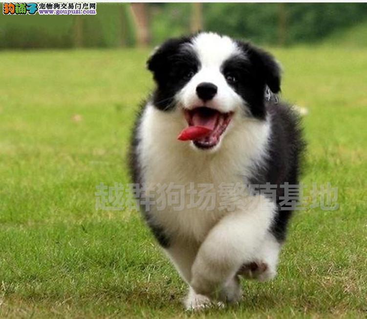 广东大型狗场双血统七白到位边牧幼犬血统纯正