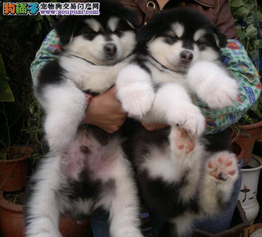 贵州买狗黔东南哪里卖狗狗场常年出售纯种阿拉斯加